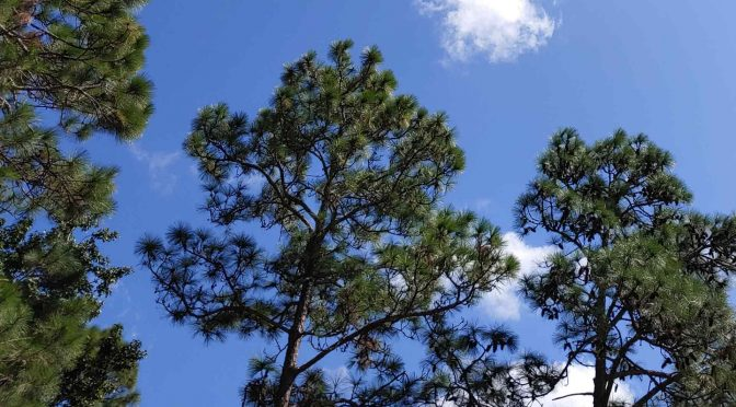 Blue skies and pine trees